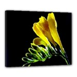 Yellow Freesia Flower Canvas 20  x 16  (Stretched)