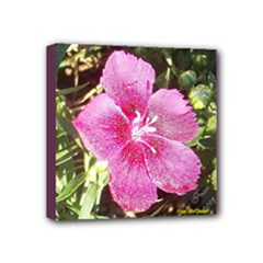 Dianthus - Fran Hoffpauir - Mini Canvas 4 x 4 (Stretched)