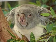 koalabear2