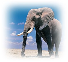 animals elephants lonely but strong