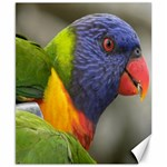 Rainbow Lorikeet Canvas 8  x 10