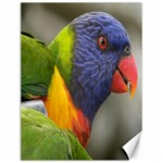 Rainbow Lorikeet Canvas 12  x 16