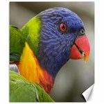 Rainbow Lorikeet Canvas 20  x 24