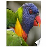 Rainbow Lorikeet Canvas 36  x 48