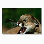 Laught Out Loud  Snarl Cougar Postcards 5  x 7  (Pkg of 10)