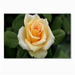 Yellow Rose Postcards 5  x 7  (Pkg of 10)