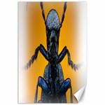 Animal Oil Beetle Canvas 24  x 36