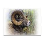 Bighorn Sheep Sticker A4 (100 pack)