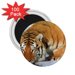 tiger_4 2.25  Magnet (100 pack)