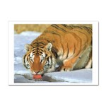 tiger_4 Sticker A4 (100 pack)