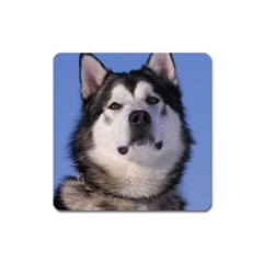 Alaskan Malamute Dog Magnet (Square) from UrbanLoad.com Front