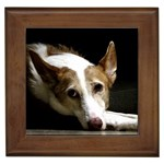 Ibizan Hound Gifts, Dog Merchandise, Custom Dog Gift Ideas, Breed Information & Dog Photos